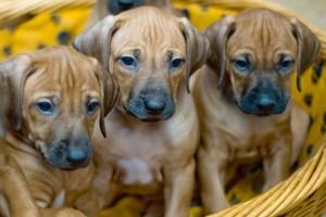 Come diventare allevatore di cani o gatti